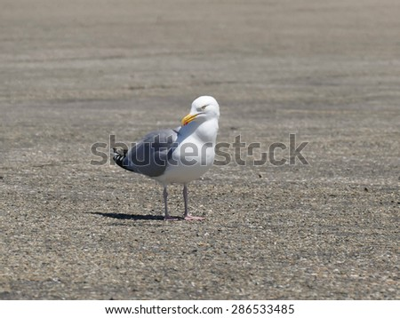 Sea gull on the ground looking in camera close-up