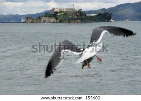 Sea gull on the way to Alcatraz - stock photo