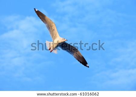 Sea gull soaring in the blue sky - stock photo