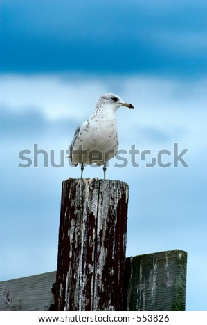 Sea Gull standing on a fence post - stock photo