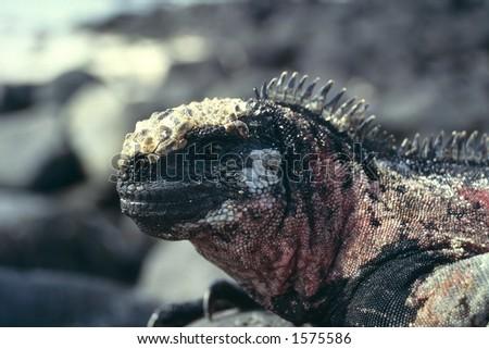 Sea Iguana (2) - Galapagos Islands - stock photo