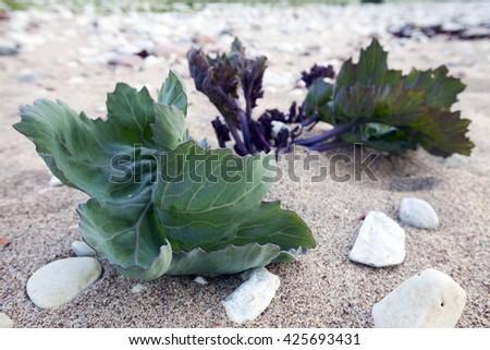 Sea kale (Crambe maritima) growing in sand at beach. Photographed at Baltic coast, Hiiumaa, Estonia. - stock photo
