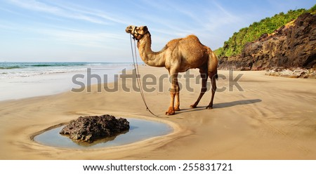 Sea landscape with a camel in India. - stock photo