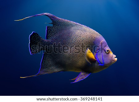 Sea life: adult Koran angelfish, or semicircle angelfish (Pomacanthus semicirculatus), on natural blue background - stock photo