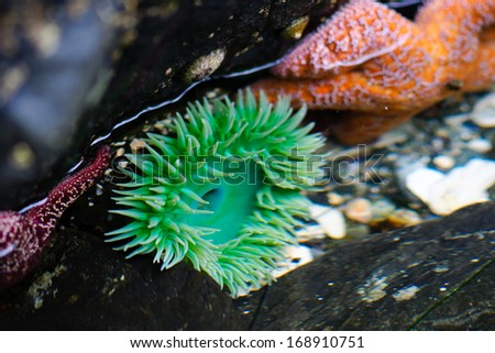 Sea life in pacific tidal pools - stock photo