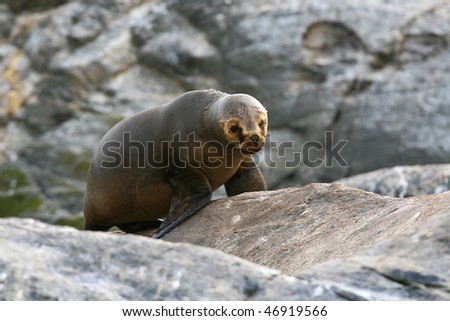 Sea Lion - stock photo