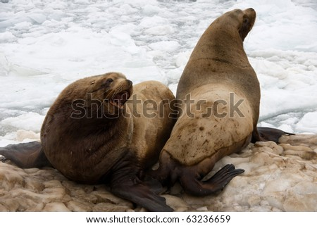 sea lion, also called a  fur seal, beside coast of the kamchatka - stock photo