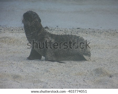 Sea Lion at Santa Fe Island, Galapagos Islands - stock photo