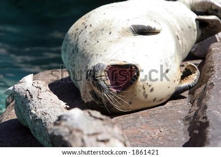Sea lion basking in the sun. - stock photo