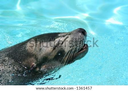 sea lion close up - stock photo