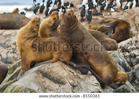 Sea Lion colony  beagle strait, patagonia, argentina - stock photo