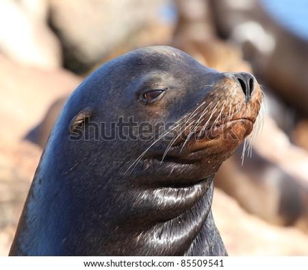 Sea lion face - stock photo