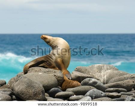 sea lion, galapagos islands, ecuador - stock photo