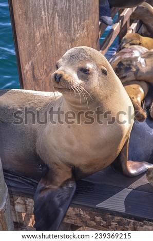 Sea Lion in California - stock photo