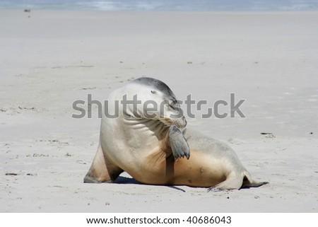 Sea lion, Kangaroo Island, South Australia - stock photo