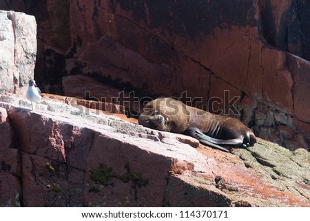 Sea lion lying on the rock at Paracas National Reserve on Islas Ballestas in Peru. The Islands are also a home to many birds species and are subject to scientific research