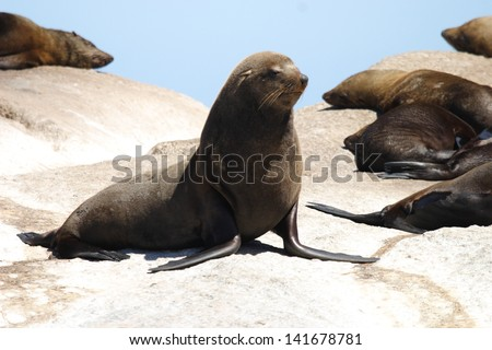 sea ??lion mammal aquatic coasts of south africa atlantic ocean seal hunter fish colony in Cape Town - stock photo