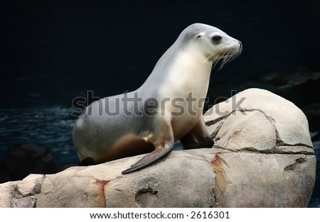 sea lion  on a rock - stock photo