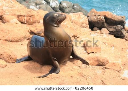 Sea Lion on rocks, Galapagos Islands, Ecuador - stock photo