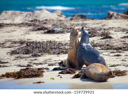Sea lion on the beach of Penguin island, west Australia - stock photo