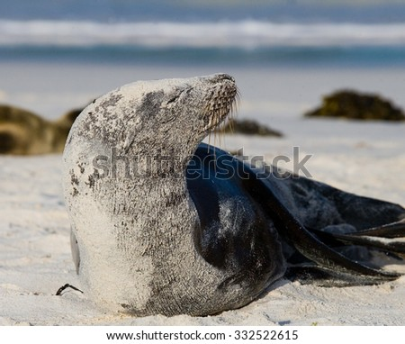 Sea lion on the beach. Sitting in full growth. Galapagos. perfect illustration.