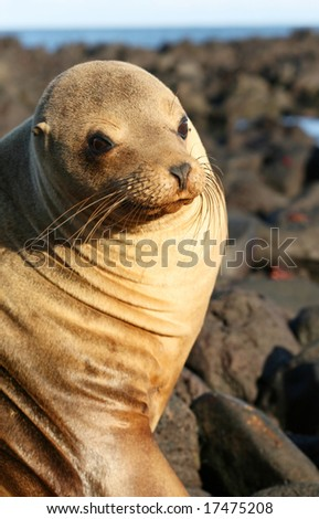 Sea Lion on the Volcanic Rocks of the Galapagos Islands - stock photo