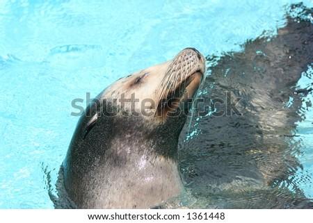 sea lion profile - stock photo