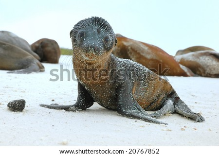Sea Lion pup on beach in Galapagos Islands - stock photo