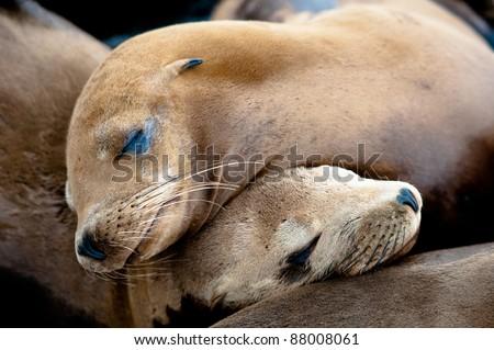 Sea Lion Pups taking a nap - stock photo