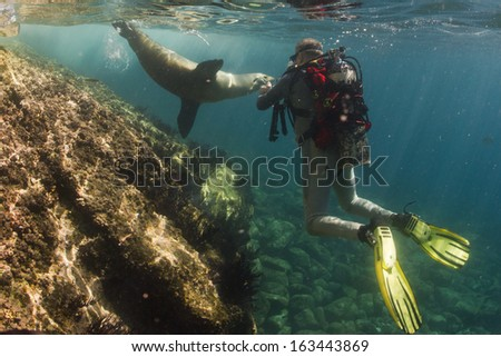 sea lion seal coming to you underwater - stock photo
