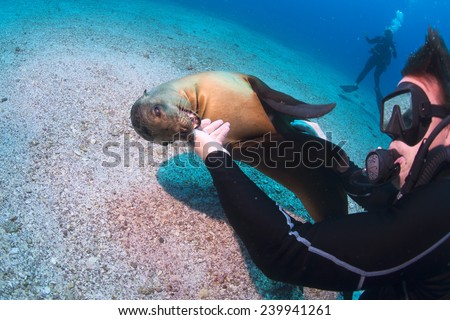 Sea lion seal while biting a diver underwater  - stock photo
