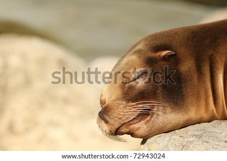 Sea lion sleeping - stock photo