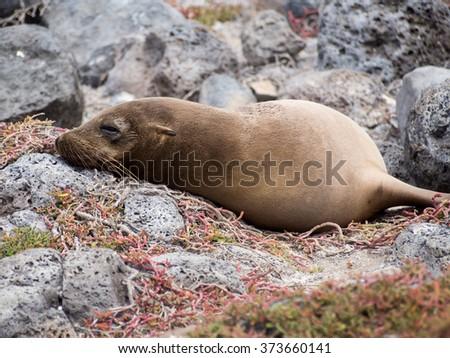 Sea lion sleeping on lava rocks, Plaza Sur Island, Galapagos - stock photo