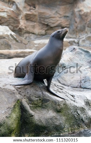 Sea Lion stands on the rock - stock photo