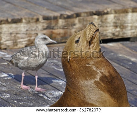 Sea Lion sunbathing on the dock while a Gull looks on in San Francisco Bay - stock photo