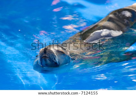 Sea lion swimming in clear blue water.