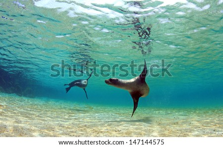 Sea lion swimming underwater in tidal lagoon in the Galapagos Islands - stock photo