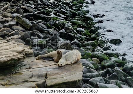 Sea lion waking up on rocks with Pacific ocean in background - stock photo