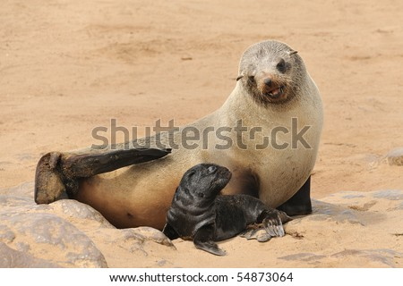 Sea lion with his young - stock photo