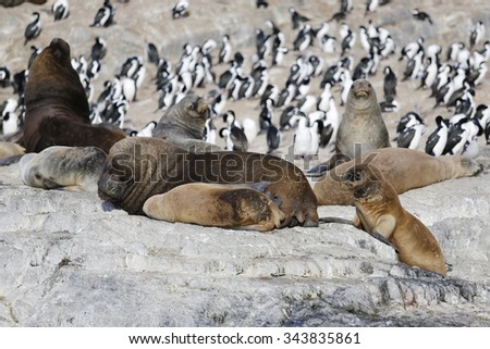 Sea lions and Magellanic cormorants colony on Isla de Los Pajaros or Birds Island In The Beagle Channel - stock photo
