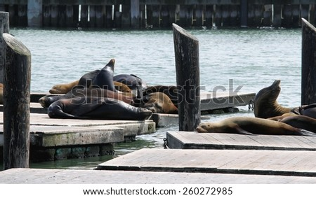 Sea lions at pier 39 in San Francisco. - stock photo
