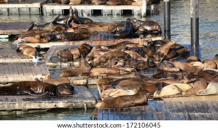 Sea lions at the Pier 39 in San Francisco - stock photo