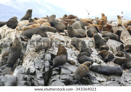 Sea Lions at the Sea Lions island in Beagle Channel, Argentina - stock photo