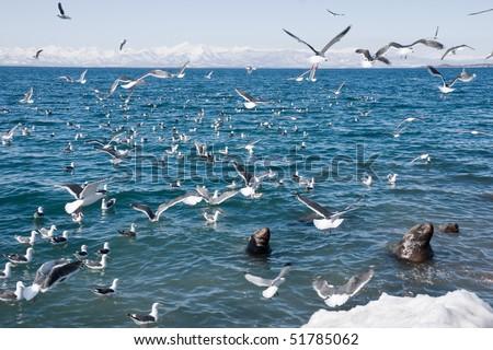 sea lions (Eumetopias jubatus) and sea gulls beside seasides Kamchatka - stock photo