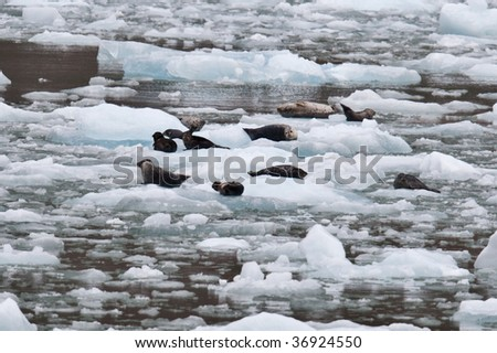 Sea lions floating on icebergs that have broken from a glacier - stock photo
