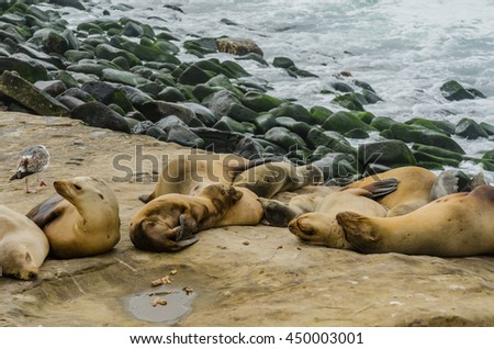 Sea lions grouped and sleeping on rocks with green algae covered rocks in background