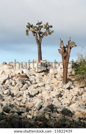 Sea Lions hide amongst the rocks on the shores of Santa Fe island, Ecuador - stock photo