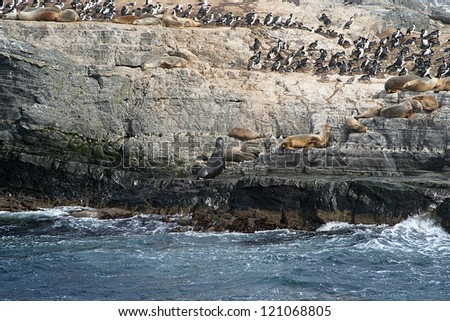 sea lions in an island, in beagle channel, close to ushuaia (argentina) - stock photo