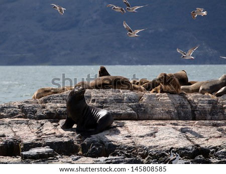 Sea Lions in Ushuaia - stock photo