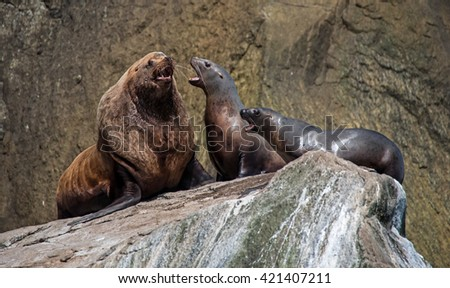 Sea lions interact on a haulout in Alaska - stock photo